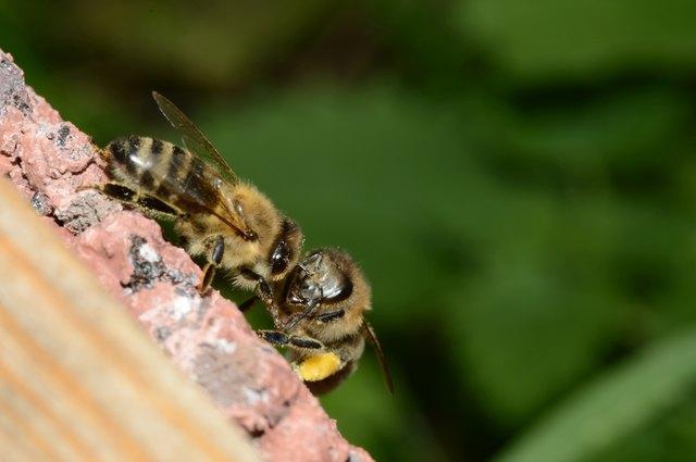 Bienen finden heutzutage immer weniger Blütennahrung.