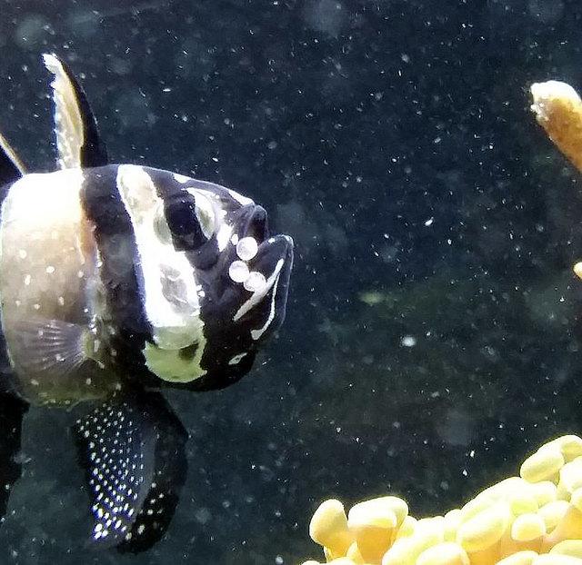 Die Brut findet im Maul des Männchens statt und auch genau dort heraus schlüpfen dann die Jungfische.