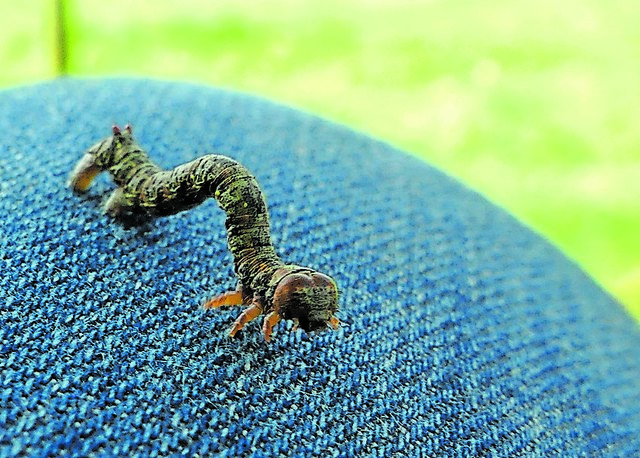 Am Kindernachmittag gab es viel zu entdecken: Hier eine Raupe, die sich als Blatt tarnen kann.