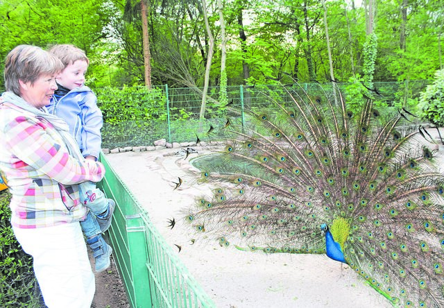 Hingucker: Ein Pfau schlägt ein Rad im Heddesheimer Vogelpark.