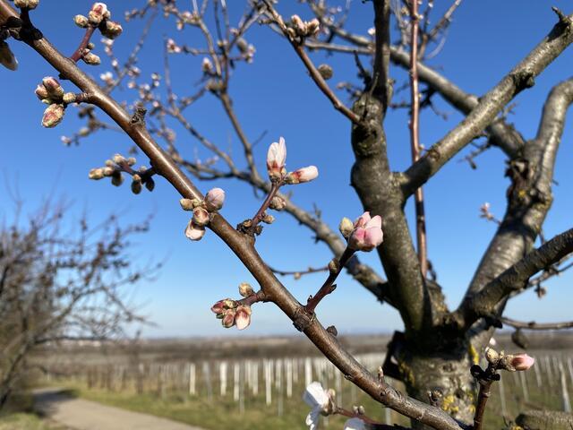 Mandelblütenfest Gimmeldingen 2021